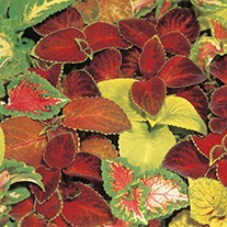 Coleus Choice Hybrids Superb Mixed Flower Seeds