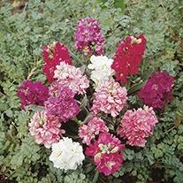 Stock Brompton Mixed Flower Seeds