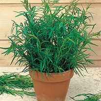 Tarragon Russian Herb Seeds