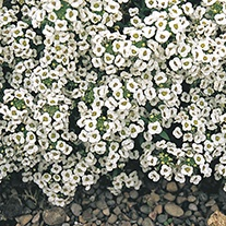 Alyssum Snow Crystals Flower Seed