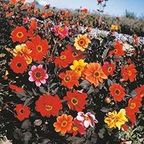 Dahlia Bishops Children Flower Seeds
