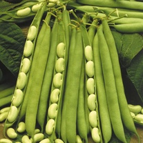 Dwarf French Bean Flagrano (Flageolet) Veg Seeds