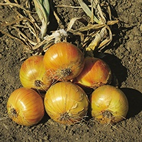 Onion (Globe) Ailsa Craig Seeds