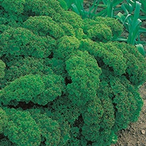 Kale Starbor F1 Seeds