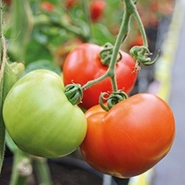 Tomato Ferline F1 (Large) Veg Plants