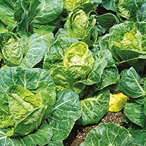 Cabbage Pixie AGM Seeds