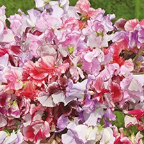 Sweet Pea (Tall) Ripple Mixed Flower Seeds