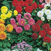 Dahlia Figaro Improved Mixed Flower Seeds