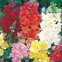 Antirrhinum Madame Butterfly Mixed F1 Flower Seeds