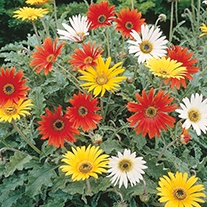 African Daisy New Hybrids Flower Seeds