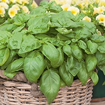 Sweet Basil Herb Seeds