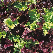 Organic Lettuce Salad Bowl Mixed Seeds