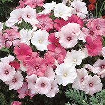 Lavatera Parade Mixed Flower Seeds