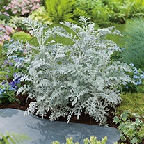 Cineraria Silverdust AGM Flower Seeds