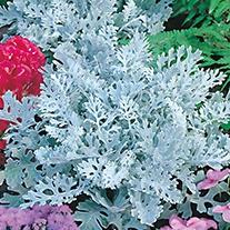 Cineraria Silverdust AGM Flower Seeds
