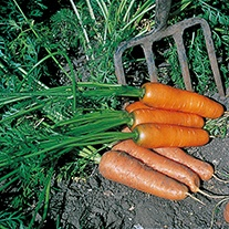 Carrot Flyaway F1 Organic AGM Seeds