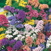 Statice QIS Formula Mixed Flower Seeds