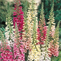 Foxglove Excelsior Mixed Flower Seeds
