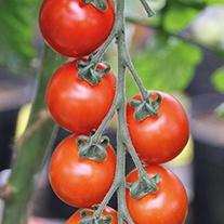 Tomato Sakura F1 AGM (Cherry) Veg Plants