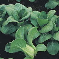 Oriental Greens Pak Choi Mei Quing Choi F1 Seeds