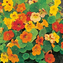 Nasturtium Whirlybird Mixed AGM Flower Seeds