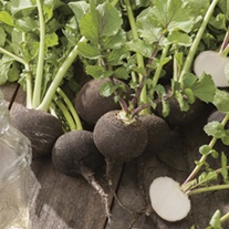 Radish (Winter) Black Spanish Round Seeds