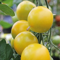 Tomato Golden Sunrise AGM Seeds