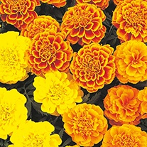 Marigold (French) Garden Gate Mixed Flower Seeds