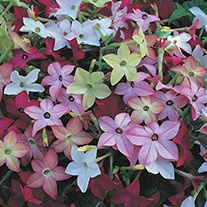 Nicotiana Avalon Mixed F1 Flower Seeds