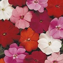 Busy Lizzie (New Guinea Type) Divine Mixed F1 Flower Seeds