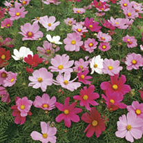 Cosmos Sonata Mixed Flower Seeds