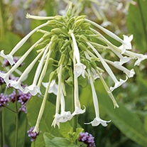 Nicotiana sylvestris AGM Flower Seeds