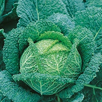 Cabbage (Savoy) Ormskirk (1) Seeds