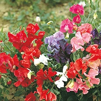 Sweet Pea (Dwarf) Patio Mixed Flower Seeds