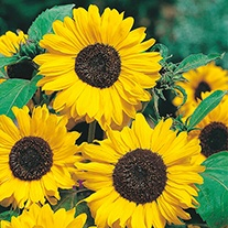 Sunflower Hallo Flower Seeds