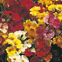 Nemesia Carnival Mixed Flower Seeds