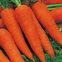 Carrot Autumn King 2 AGM Organic Seeds