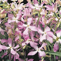 Stock Night Scented Flower Seeds