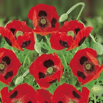 Poppy Ladybird Flower Seeds