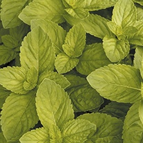 Mint Mixture Herb Seeds