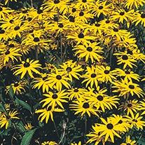 Rudbeckia (Perennial) Fulgida Var Speciosa Flower Seeds