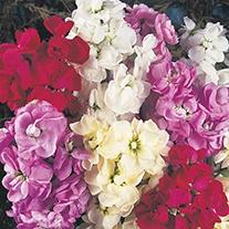 Stock Ten Week Mixed Flower Seeds