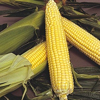 Sweetcorn Landmark F1 Seeds