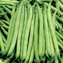 Dwarf French Bean Seeds, The Prince AGM