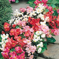 Begonia DTB Special Mix F1 Flower Seeds
