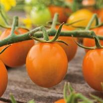 Tomato Sungold F1 AGM (Cherry) Veg Plants