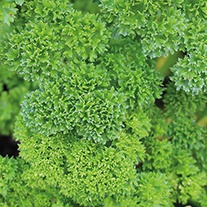 Parsley Moss Curled 2 Seeds