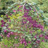 Rhodochiton Purple Bell Vine Flower Seeds