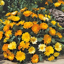 Calendula Daisy Mixed Flower Seeds