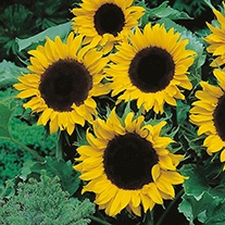 Sunflower (Dwarf) Mezzulah F1 Flower Seeds